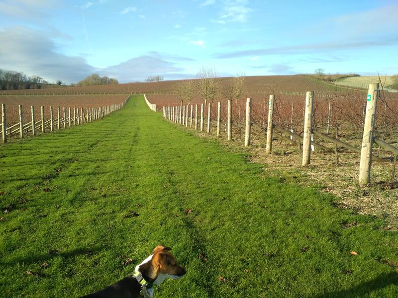 green vineyard field with dog pictured